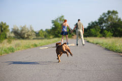 Staffordshire-Terrier, der mit großem Stock läuft Lizenzfreies Stockbild