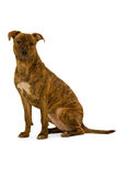 Staffordshire terrier dog Royalty Free Stock Photo