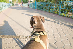 Staffordshire terrier dog pulls on a leash from owners perspective stock image
