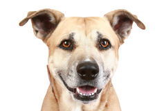 Staffordshire terrier dog on a white background Stock Photos