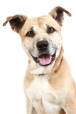 Staffordshire terrier dog on a white background. American Staffordshire terrier sitting in front of a white background royalty free stock images