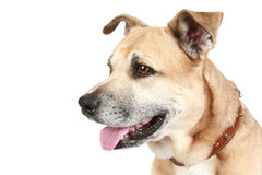 Staffordshire terrier dog on a white background. American Staffordshire terrier sitting in front of a white background royalty free stock photo