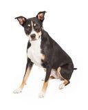Staffordshire Terrier Dwarszitting Stock Foto's
