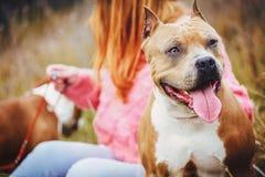Staffordshire Terrier el perro se sienta en naturaleza en la caída imagen de archivo libre de regalías