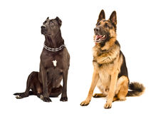 Staffordshire Terrier and German Shepherd Stock Photography