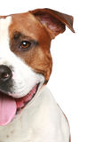 Staffordshire terrier. Half of muzzle portrait Royalty Free Stock Photo