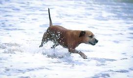 Staffordshire-Terrier im Wasser Stockbild