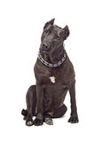 Staffordshire terrier  interestedly looks Stock Photos