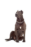 Staffordshire Terrier Royalty Free Stock Photo