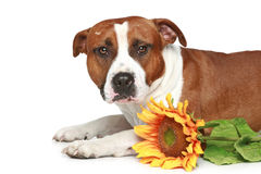 Staffordshire terrier lying with sunflower Royalty Free Stock Photos