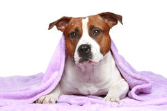 Staffordshire terrier, lying under soft blanket Stock Photo
