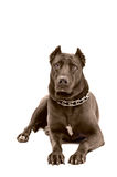 Staffordshire terrier. Lying on a white background Stock Photography
