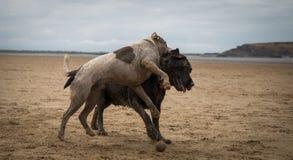 Staffordshire terrier och labrador som spelar på stranden av Weston Super Mare royaltyfria bilder