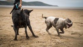 Staffordshire terrier och labrador som spelar på stranden av Weston Super Mare arkivbild