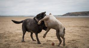Staffordshire terrier och labrador som spelar på stranden av Weston Super Mare royaltyfri bild