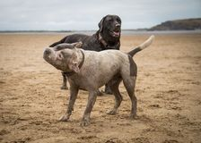 Staffordshire terrier och labrador som spelar på stranden av Weston Super Mare fotografering för bildbyråer