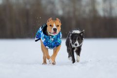 Staffordshire Terrier, Pit Bull and Border Collie dogs walking in the countryside on a snowy field. Border Collie and Staffordshire Terrier, Pit Bull playing stock image