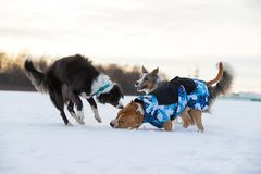 Staffordshire Terrier, Pit Bull and Border Collie dogs walking in the countryside on a snowy field. Border Collie and Staffordshire Terrier, Pit Bull playing stock photo