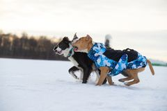 Staffordshire Terrier, Pit Bull and Border Collie dogs walking in the countryside on a snowy field. Border Collie and Staffordshire Terrier, Pit Bull playing stock photos