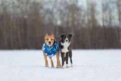 Staffordshire Terrier, Pit Bull and Border Collie dogs walking in the countryside on a snowy field. Border Collie and Staffordshire Terrier, Pit Bull playing royalty free stock photo