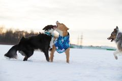Staffordshire Terrier, Pit Bull and Border Collie dogs walking in the countryside on a snowy field. Border Collie and Staffordshire Terrier, Pit Bull playing stock photography