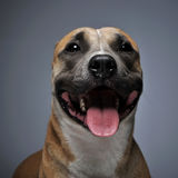 Staffordshire Terrier portret in donkere studio Stock Foto