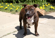 Staffordshire Terrier posing for her photo Stock Photo