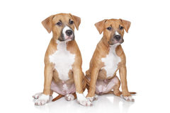 Staffordshire Terrier puppies on white background Stock Images