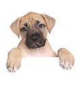 Staffordshire terrier puppy above banner. American Staffordshire terrier puppy above banner isolated on white background Stock Photo
