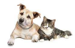 Staffordshire terrier puppy and cat. Portrait on a white background Royalty Free Stock Photography
