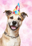 Staffordshire terrier puppy in party hat Stock Image