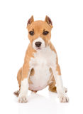 Staffordshire terrier puppy sitting in front. isolated on white Stock Photography