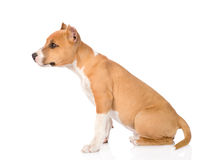 Staffordshire terrier puppy sitting in profile. isolated on whit Stock Images
