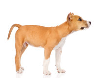 Staffordshire terrier puppy standing in profile. isolated Royalty Free Stock Photos