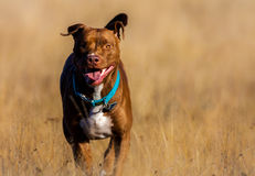 Staffordshire Terrier runs over a brown field Royalty Free Stock Photos