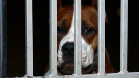Staffordshire terrier sad in animal shelter stock video footage