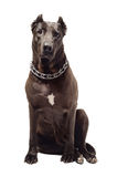 Staffordshire Terrier Royalty Free Stock Images