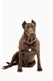 Staffordshire terrier. Sitting on a white background Royalty Free Stock Image