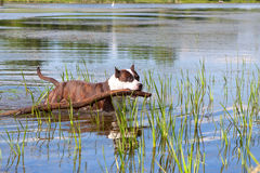 Staffordshire terrier swimming. Male of staffordshire terrier swimming in the river with a stick in his mouth Stock Photos