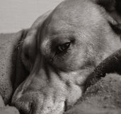 Staffordshire terrier waking up in his bed Royalty Free Stock Image