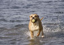 Staffordshire terrier in the water. Playing with a ball stock image