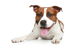 Staffordshire terrier on a white background Royalty Free Stock Images
