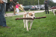 Staffordshire Terrier. With wooden stick Stock Image
