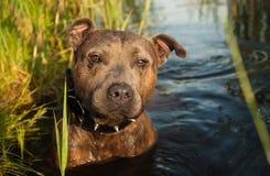 Staffordshire terrierjakt i vattnet fotografering för bildbyråer