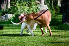 Staffordshire terriers die op binnenplaats spelen Royalty-vrije Stock Afbeeldingen