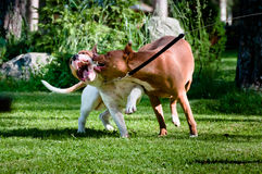 Staffordshire terriers playing on back yard Royalty Free Stock Images