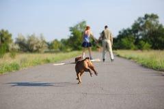 Staffordshire terrierspring med den stora pinnen Royaltyfri Bild