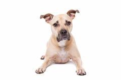 Staffordshire-tjur terrier Fotografering för Bildbyråer