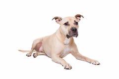 Staffordshire-tjur terrier Arkivfoto