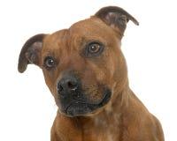Stafforshire bull terrier imagen de archivo libre de regalías